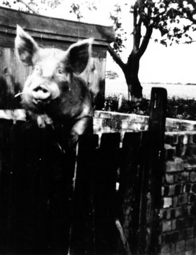 Billy Bembo Large White boar at Piglets Boutique B&B, circa 1965
