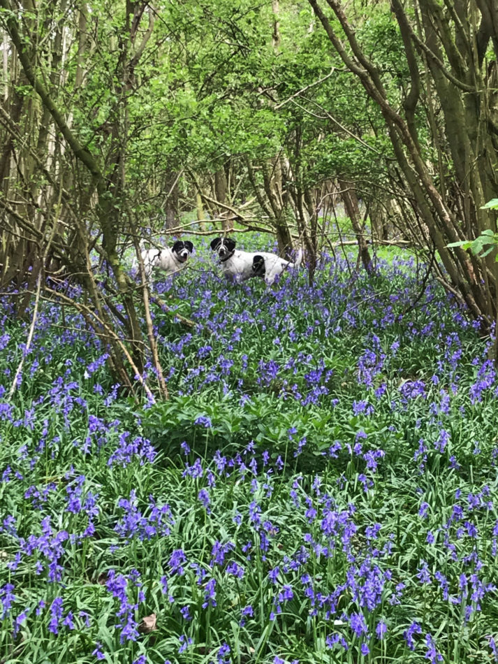 Bluebell wood at Piglets Boutique B&B