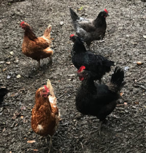 Free range chickens at Piglets Boutique B&B | Farm fresh eggs from free range chickens at B&B | Boutique B&B has its own chickens