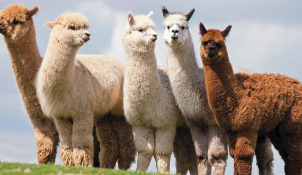 Walking with Alpacas near B&B | Meet Alpacas near boutique B&B