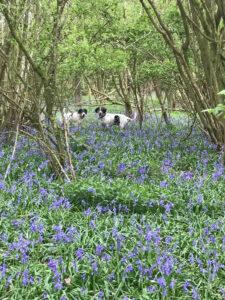 Bluebells at Piglets